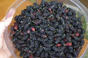 Freshly picked mulberries in a bowl