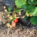 Strawberries ripening on the vine