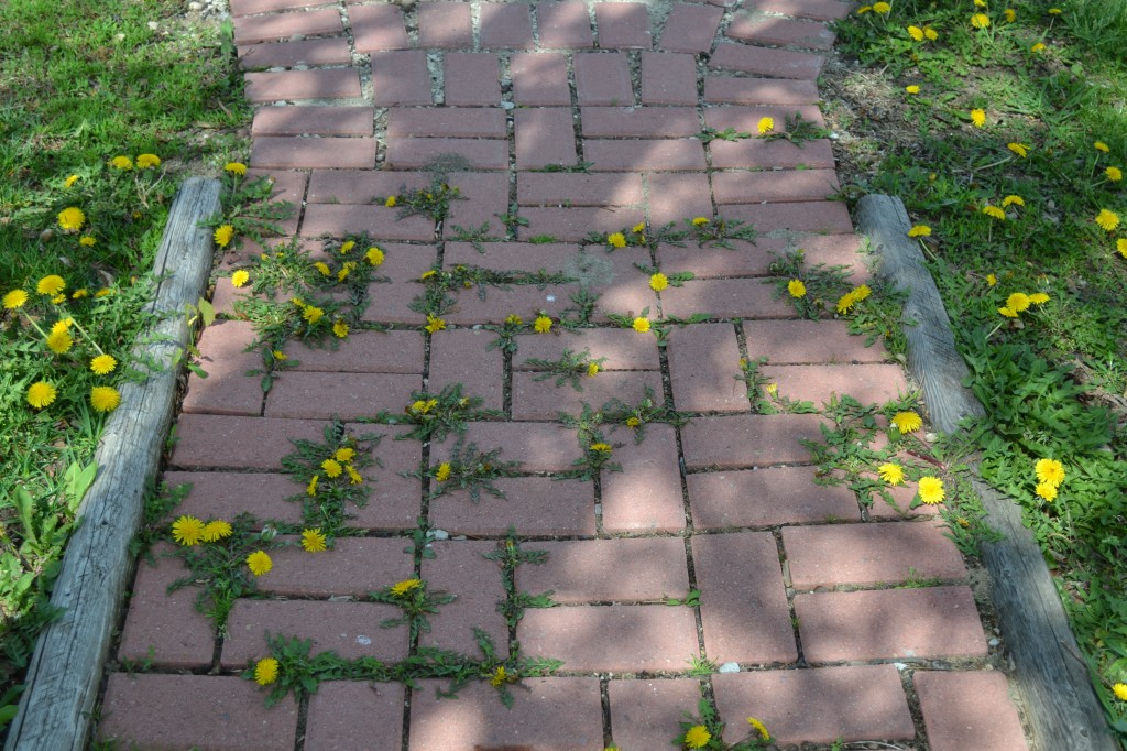 Dandelions growing on brick walkway