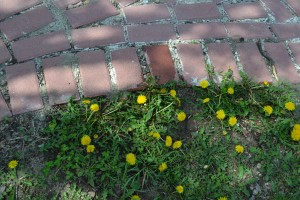 Dandelions along the side of the brick walkway