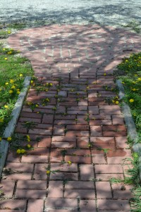 Brick walkway after treating dandelions with boiing water. Dandelions are slightly wilted and still green.