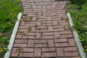Brick walkway the day after the boiling water treatment.  All are brown and wilted.