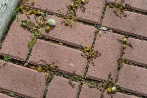 Dandelions brown and dead in brick walkway.